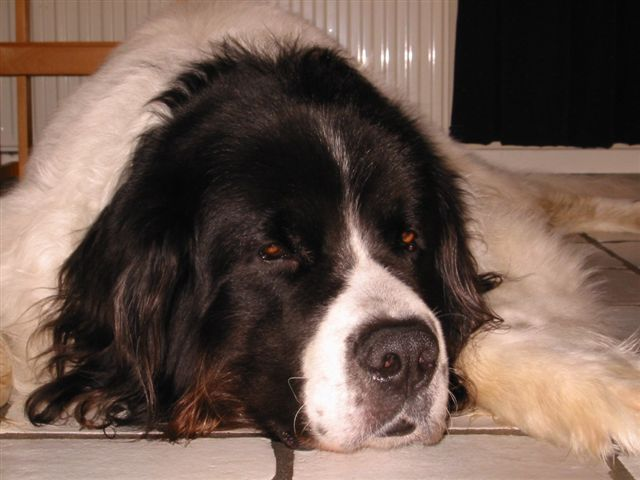 Lazy Ol' Man Yvar. 7+ years of age, but still adorable.  ( Landseer Fotoalbum)